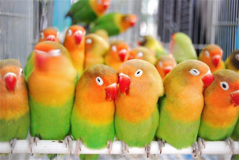keunikan love bird