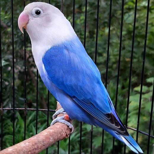 love bird pale fallow