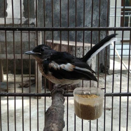 Makanan burung kacer